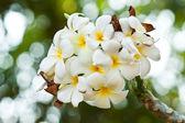 Frangipani, plumeria blommor — Stockfoto