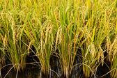 Rice plant — Stock Photo