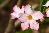 Pink impala lily close up — Stock Photo