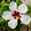 White hibiscus flower — Stock Photo