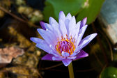 Lotus on the River — Stock Photo