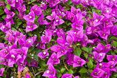 Bougainvillea papier bloem — Stockfoto