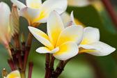 Frangipani,Plumeria flowers — Stock Photo
