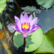 Stock Photo: Lotus
