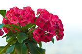 Euphorbia milli — Stock Photo