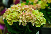 Euphorbia milli — Stock Photo