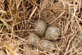 Brown eggs at hay nest in chicken farm — Stock Photo