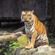 Tiger at Thailand — Stock Photo #17978895