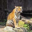 Tiger at Thailand 's Zoo — Stock Photo #32970977
