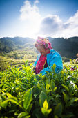 CHIANG MAI, THAILAND - OCT 25: Tea workers from Thailand break t — Stock Photo