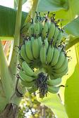 Green banana on tree — Stock Photo
