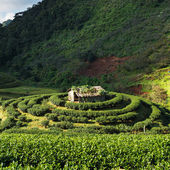 Tea plantation in the Doi Ang Khang, Chiang Mai, Thailand — Stock Photo