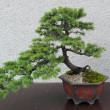 Royalty-Free Stock Photo: Bonsai