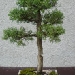 Stock Photo: Bonsai