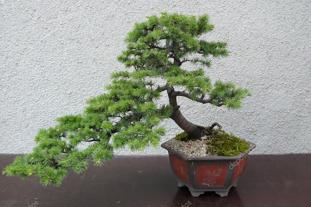 A mature tree in miniature grown man in the style of bonsai — Stock Photo #12845497