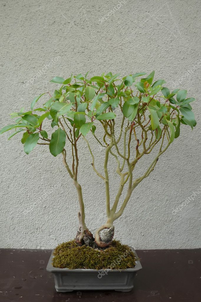 A mature tree in miniature grown man in the style of bonsai — Stock Photo #12845534