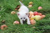 White kitten in the grass with apples — Stock Photo