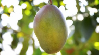 Mango fruit in tree, fruit tropical. — Stock Video