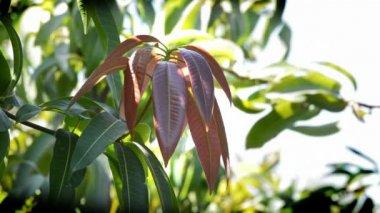 Mango tree leaf, fruit tropical. — Stock Video