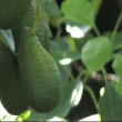 Avocado fruit. — Stock Video #13867710
