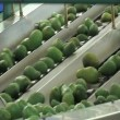 Stock Video: Avocados fruit in packing line.