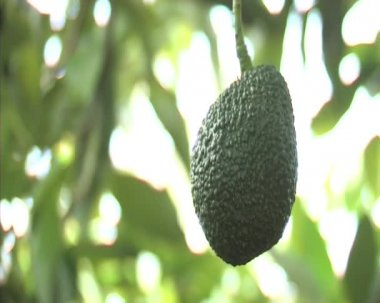 Avocado hass in tree. — Stock Video