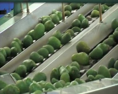 Avocados fruit in packing line. — Stock Video