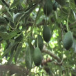 Avocado, aguacate, palma, guacamole, green, agriculture, tree, farm, tropical, mango, hass — Stock Video #13877234