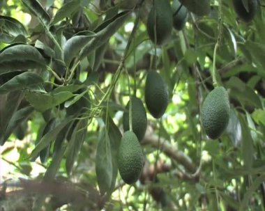 Avocado, aguacate, palma, guacamole, green, agriculture, tree, farm, tropical, mango, hass — Stock Video