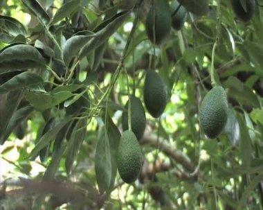 Avocado, aguacate, palma, guacamole, green, agriculture, tree, farm, tropical, mango, hass — Stock Video