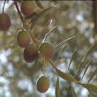 Olives in branch. — Stock Video
