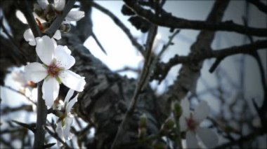 Almond blossoms. — Stock Video