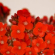 Red flowers wreath rotating close up. Loop. — Stock Video