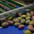 Stock Video: Mangoes fruit in packaging line