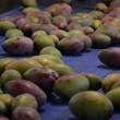 Mangoes fruit in packaging line — Stock Video