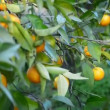 Oranges hanging in tree — Stock Video #38312939