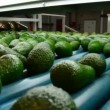 Avocados — Stock Video #41066371
