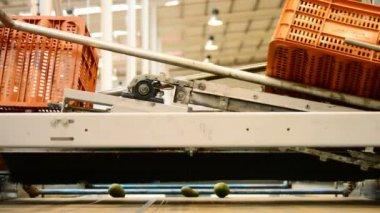 Avocados in industrial line — Стоковое видео
