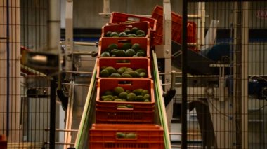Avocados in industrial line — Stockvideo