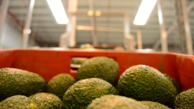 Avocado hass in packaging line — Stock Video