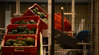 Avocados in industrial line — 图库视频影像