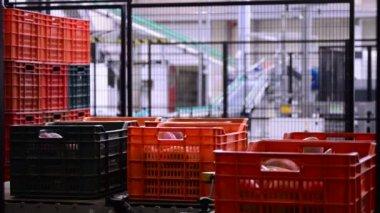Mangoes in industrial line — Стоковое видео