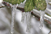 Leaves and ice. — Foto de Stock