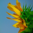 Summery Sunflower — Stock Photo