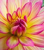 黄色和粉红色大丽花 — 图库照片