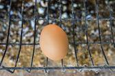 Kuřecí vejce nosnic v hospodářství — Stock fotografie