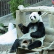 Giant panda bear  — Stock Photo