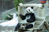Obří panda bear — Stock fotografie