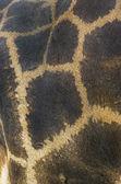 Textura piel de jirafa — Foto de Stock