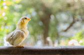 Baby chick — Stock Photo
